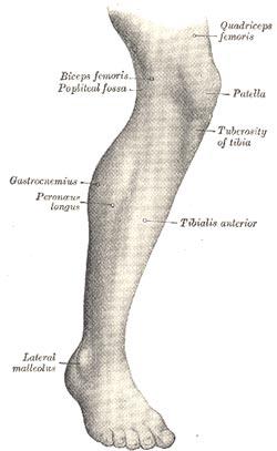 Benmuskler - menneskets anatomi i underbenet