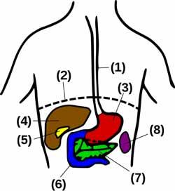 Galdeblærens placering i forhold til andre organer