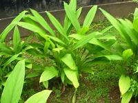 Gurkemeje-planten