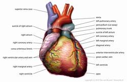 hjertesygdomme