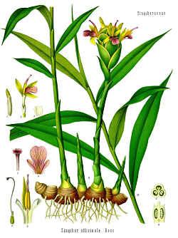 Ingefær-planten