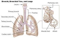 Lungernes funktion og anatomi