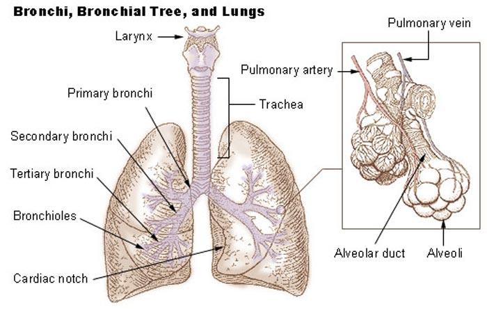 slim i lungerne