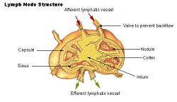 Her ses en lymfekirtel