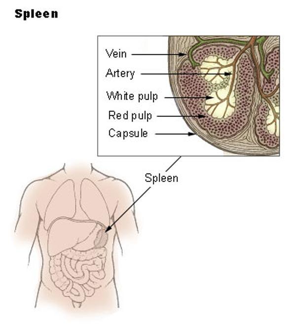 udspilet mave lever