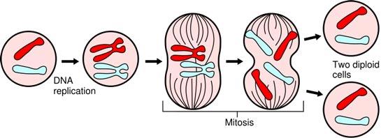 Mitose er almindelig celledeling