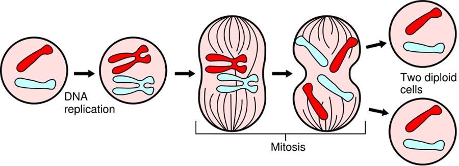 biologi begreber singleplus