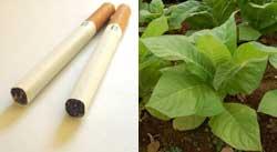 nikotinforgiftning