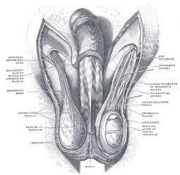Ømme testikler er normalt ikke tegn på alvorlige tilstande