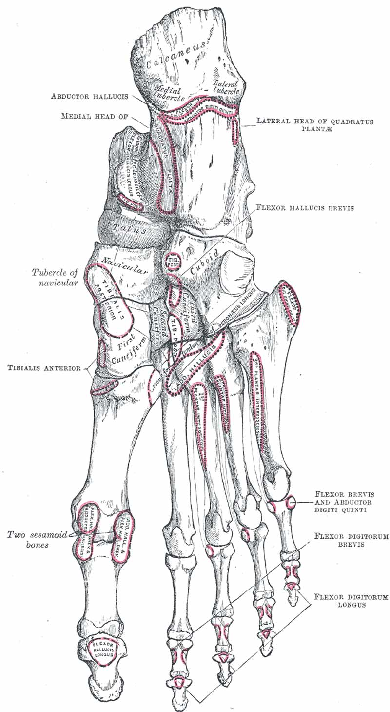 Toe Anatomy Bone also Taeer further Human Skeleton Diagram further Parrot Anatomy furthermore Index cuerpo. on foot skeletal system