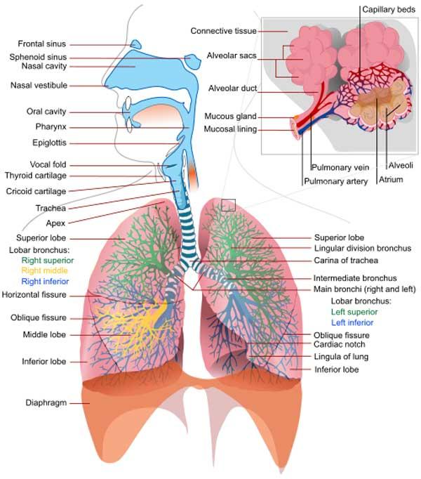 tør hoste uden feber