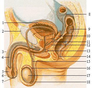 Mandens urinblære