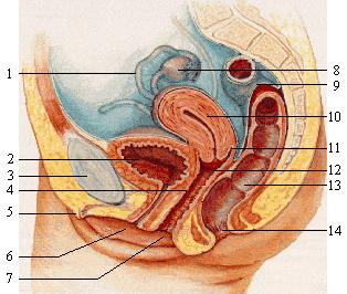 Kvindens urinblære